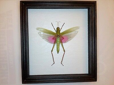 Insect Collection Taxidermy  framed under glass.(Lophacris cristata)