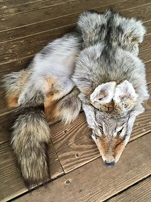COYOTE Tanned Pelt Taxidermy Canadian parka fox log cabin decor leather Man Cave