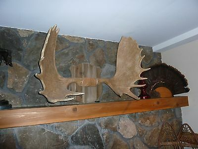 moose antlers cast in resin from Restoration Hardware