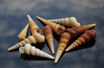 Turritella Screw Natural seashells, Craft & Decor Sea Shells