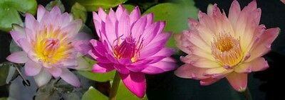 SPECIAL OFFER 3 Large Mature Plants Tropical WATER LILIES 3 Different Colors