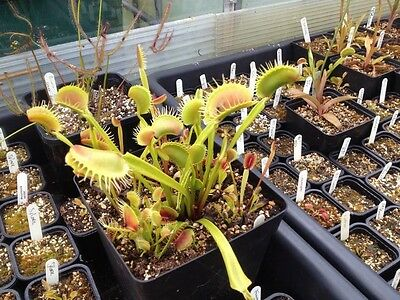 Dionaea Muscipula Venus Fly Trap Giant Spider