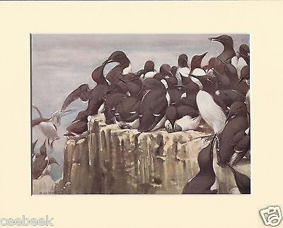 Guillemots On The Farne Islands Mounted 1930s Bird Print Black Cream or White Mo