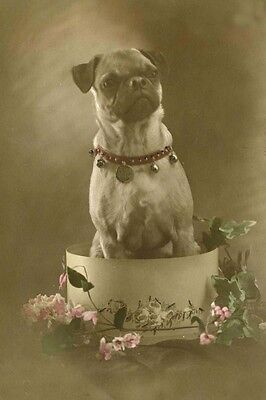 Pug Dog in Hat Box Antique Photo 1913 CUTE - LARGE New Blank Note Cards