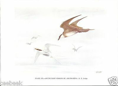 Arctic Tern Chased By Arctic Skua - 1930s Bird Print by G.E. Lodge