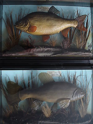 A PAIR of CASED FISH Consecutive Numbers RUDD & TENCH Casts