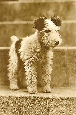 Wire Fox Terrier Puppy Dog Antique Photo LARGE  8 New Blank Note Cards