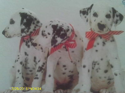2 - 500 Piece Quality Puzzles of 3 Dalmation Puppy Dogs