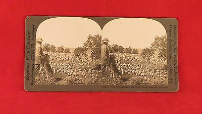 Vintage Keystone Stereoview Card - Flock of Sheep in Montana (Circa 1909)