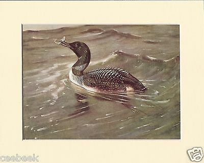 Great Northern-Diver Mounted 1930s Bird Print Black Cream or White Mounts