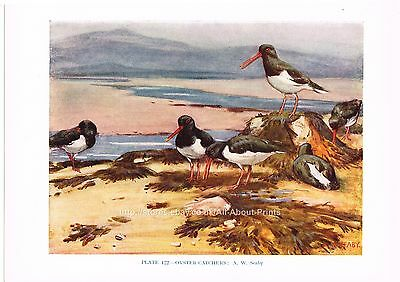 Oyster-Catchers - 1930s Bird Print by A.W. Seaby