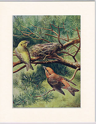Crossbills Going To Their Nest Mounted 1930s Bird Print Black Cream or White Mou