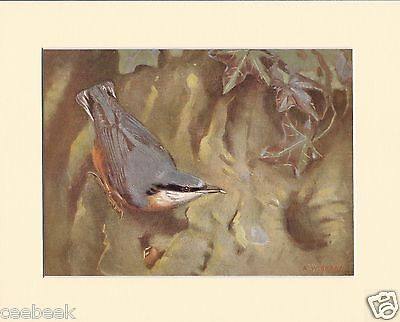 Nuthatch Picking Out The Kernel Of A Nut Mounted 1930s Bird Print Black Cream or