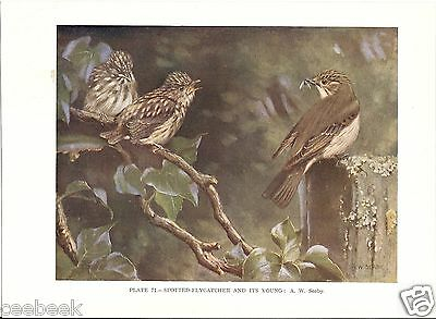 Spotted Flycatcher & It's Young - 1930s Bird Print by A.W. Seaby