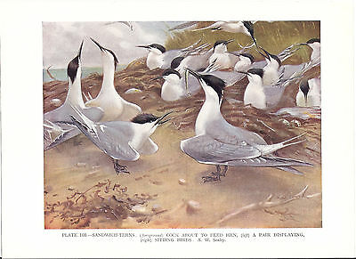 Sandwich Terns - 1930s Bird Print by A.W. Seaby