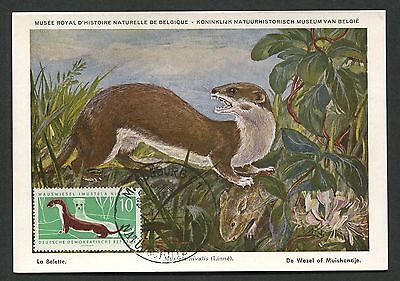 DDR MK 1962 870 FAUNA WIESEL WEASEL MAXIMUMKARTE CARTE MAXIMUM CARD MC CM d2520