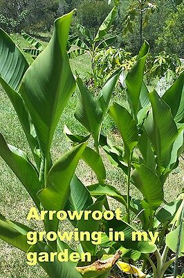 Queensland Arrowroot tubers (2) hardy permaculture plant - free postage