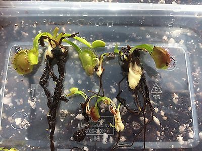 Dionaea  Muscipula Venus Fly Trap Bare Root Plants