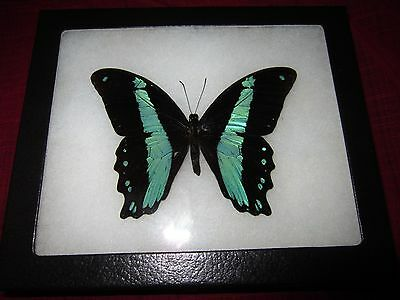"real papilio BROMIUS butterfly from africa mounted  framed 5 x 7"" riker  #8d2"