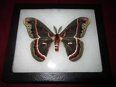 "saturniidae hyalophora cecropia moth mounted  framed 5 x 7"" display   ##f7"