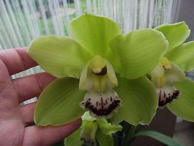 Cymbidium `Alice Anderson` orchid plant in bloom,giant flowers 2 spikes