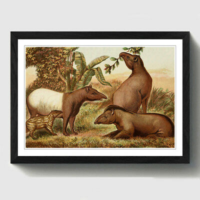 Black A2 Framed Print Vintage Natural History Indian & South American Tapirs