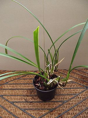 Rare Coelogyne viscosa orchid plant not in bloom