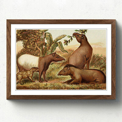 Walnut A2 Framed Print Vintage Natural History Indian & South American Tapirs