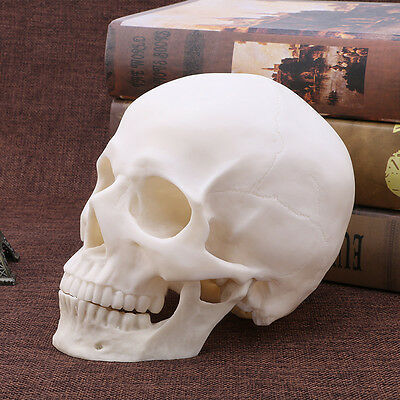 Resin Human Skull Replica Art Teaching Model Medical Realistic 1:1 Adult Size