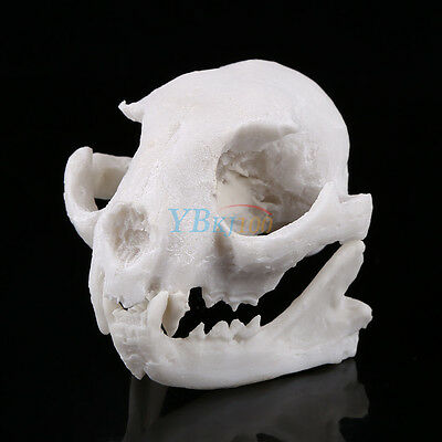 Realistic Cat Skull Replica Medical Teaching Skeleton Model Collectibles Resin