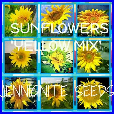 SUNFLOWERS 'Rare Yellow Mix' 30 SEEDS Mexican/Russian/Sunbird/Teddy 🐝JENNIGNITE
