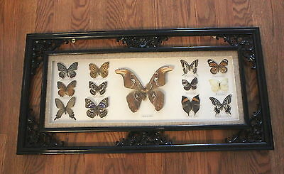 Vintage Butterfly Taxidermy Display Case Attacus Atlas Moth + 12 Butterflies