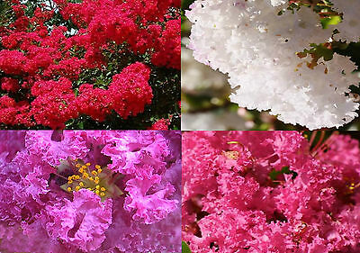 Crepe Myrtle Seeds Colour Variety 4 Pack Red Pink Purple White Flower Seed