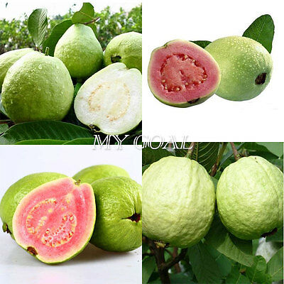 20Pcs Large Sweet Fragrance Red Guava Fruit Seeds White Home Garden Plant Fresh