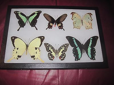 6 real framed mounted lepidoptera  butterflies lot in 8 x 12 display #f30