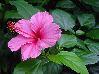 hibiscus 2 cuttings pink
