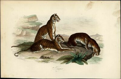 Tigers at edge of cliff big cats 1854 lovely scarce antique engraved print