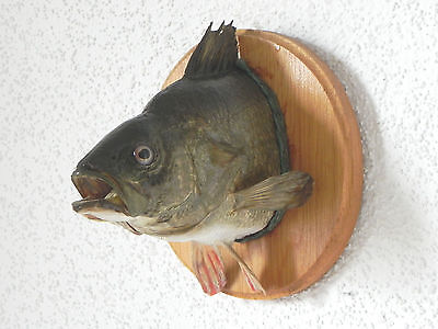common PERCIDAE head taxidermy PERCH preparation trophy fish fishing 60.1.8.1