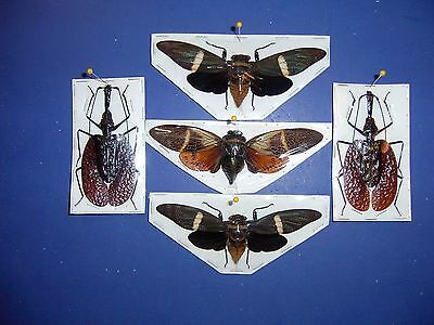 Insect Display Cicadas and Ground Beetles  3 Species Nice display