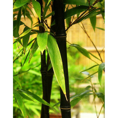 100 Fresh Black Bamboo-Seeds with Instructions - Phyllostachys Nigra (Hardy)