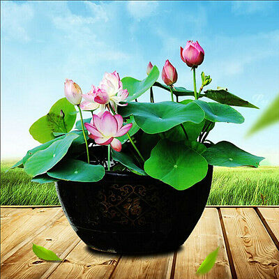 10Pcs Lotus Nymphaea Asian Water Lily Pad Flower Pond Seeds potted flowers QW