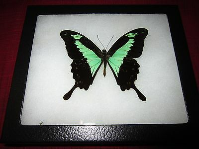 """real papilio phorcas butterfly from africa mounted  framed 5 x 6"""" riker  #8a7"""