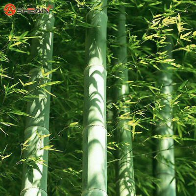 100 Seeds Fesh Moso Bamboo-Seeds Phyllostachys Pubescens GIANT Bamboo-Hardy