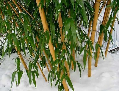 100 Chinese Timber Bamboo-Seeds Phyllostachys Vivax Hardy