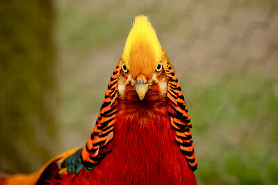 6+ Red Golden Yellow Golden Pheasant Hatching eggs Live chickens quail