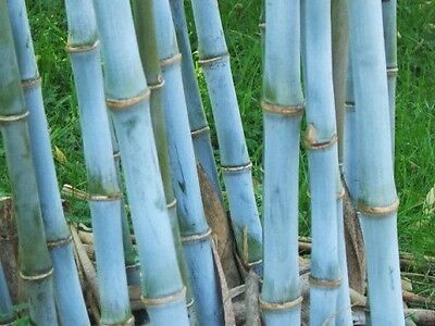 60 Fresh Blue Bamboo-Seeds with instructions