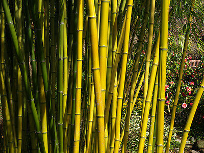 1000 Goldend Yelow Bamboo-Seeds Phyllostachys Aureosulcata (Hardy Clumping)