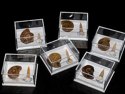 Ammonite and Shark teeth Fossil Collection in display case. Kids gift idea tooth