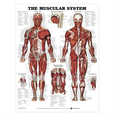 The Muscular System Anatomical Chart Poster Print Laminated Poster 20in x 26in