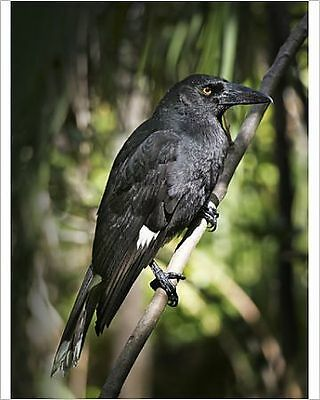 25x20cm Photo-Forest Currawong, Lord Howe Island-12478441-8105